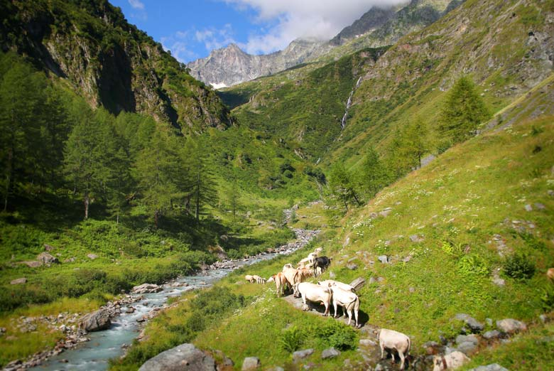 mucche-verso-Andolla